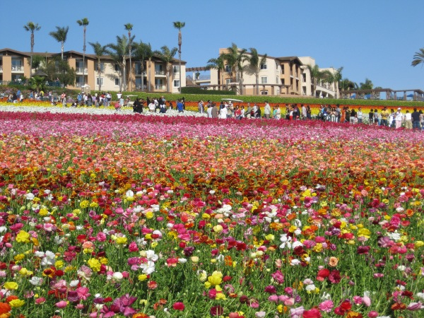 Carlsbad flower fields 1