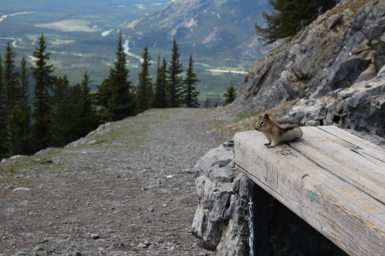 Banff Gondola squirrel